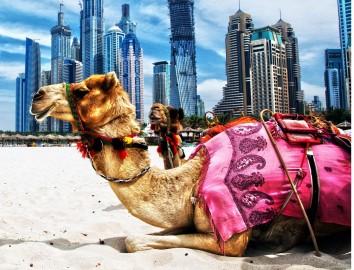 Dubai chameau vacances